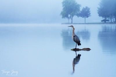 Early Morning Heron
