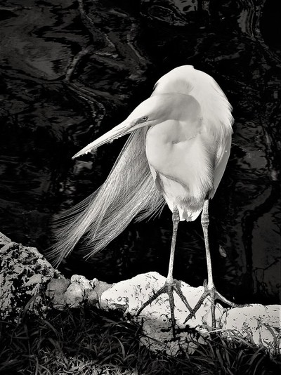 Egret on the Edge