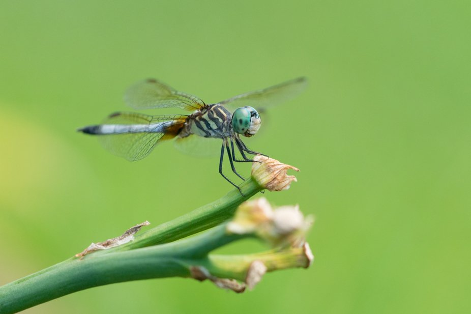 This dragonfly wanted its day in the limelight. While trying to photograph it kept flying away th...