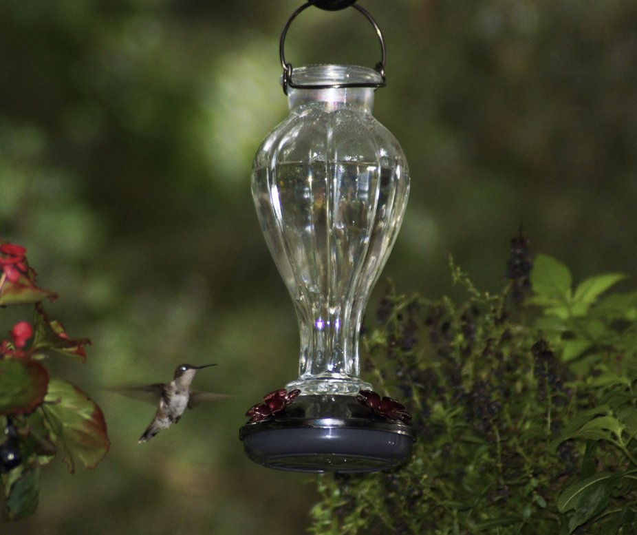 Put up new feeder that was given to me and tried a new nectar recipe.
