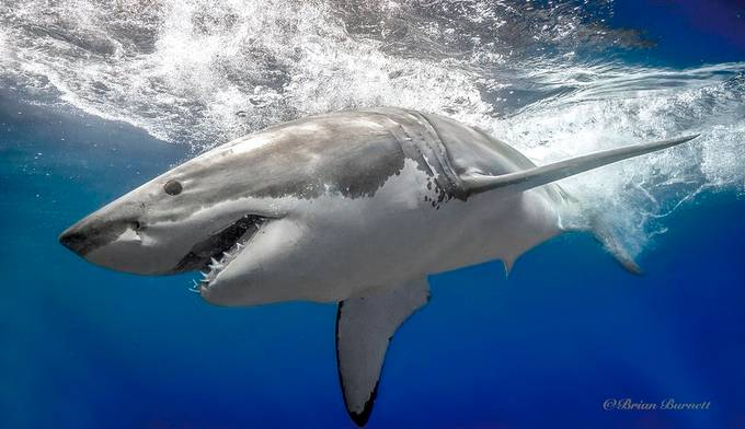 Great White by Spider1987 - The Natural Planet Photo Contest