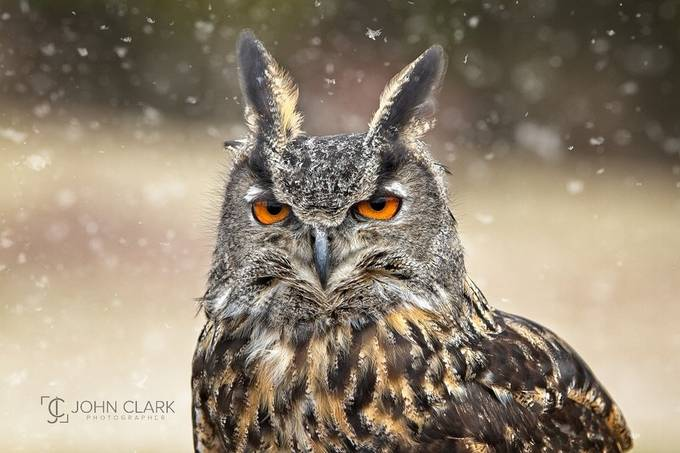 Those Eyes by GetRealJC - Beautiful Owls Photo Contest