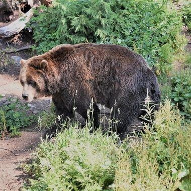 Brown Bear (1) - Grouse Mountain, Vancouver, Canada