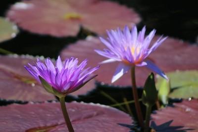 Ultraviolet Lotus Flower on Burgundy Lily Pads