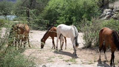 Wild Horses for Tonto National Forest