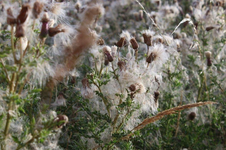 18 08-Seeding Thistles
