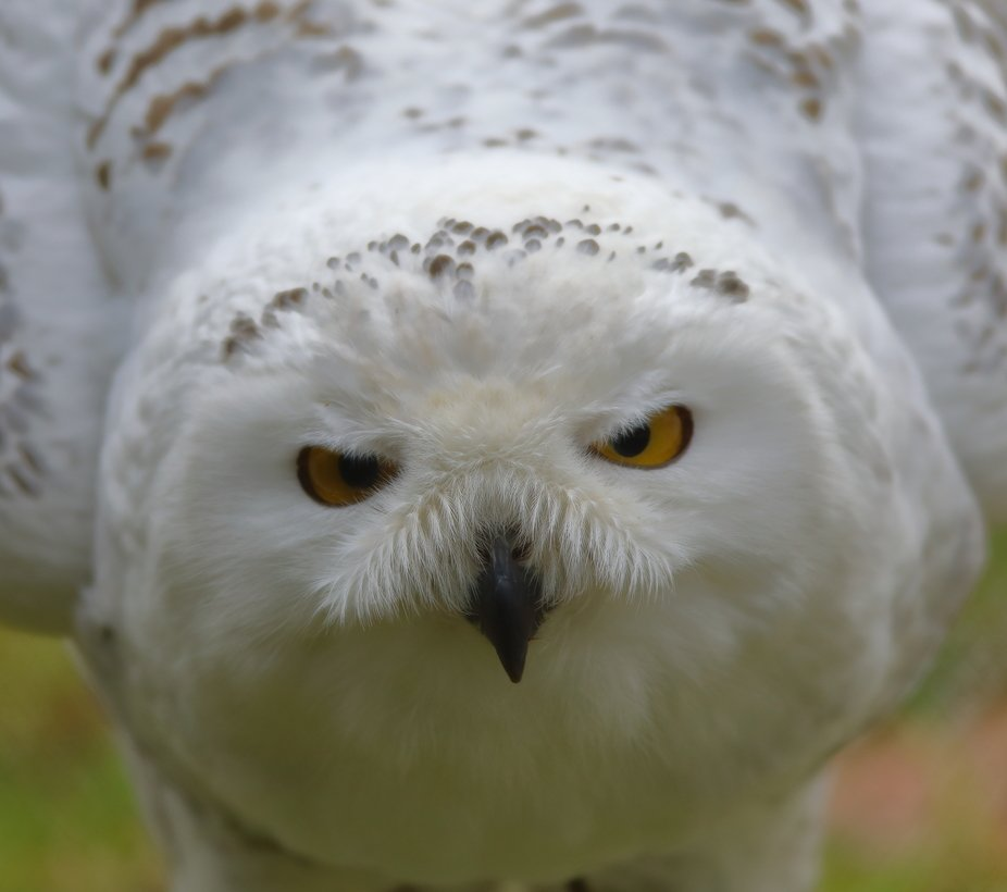 Snowy Owl close up 7M9A0688a