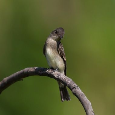 This is a small tyrant flycatcher migrating through Southern California on the path of the Pacific Flyway..