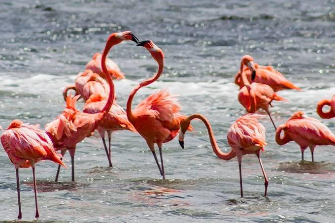Kissing flamingoes