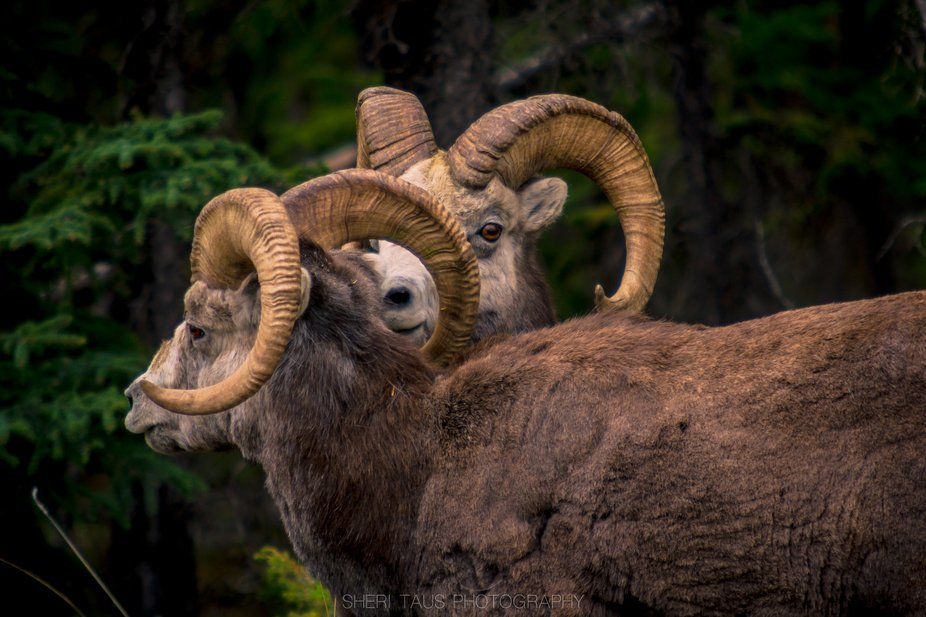 These beautiful stone sheep were close to Muncho Lake  BC, Canada. Loved just watching them, they...