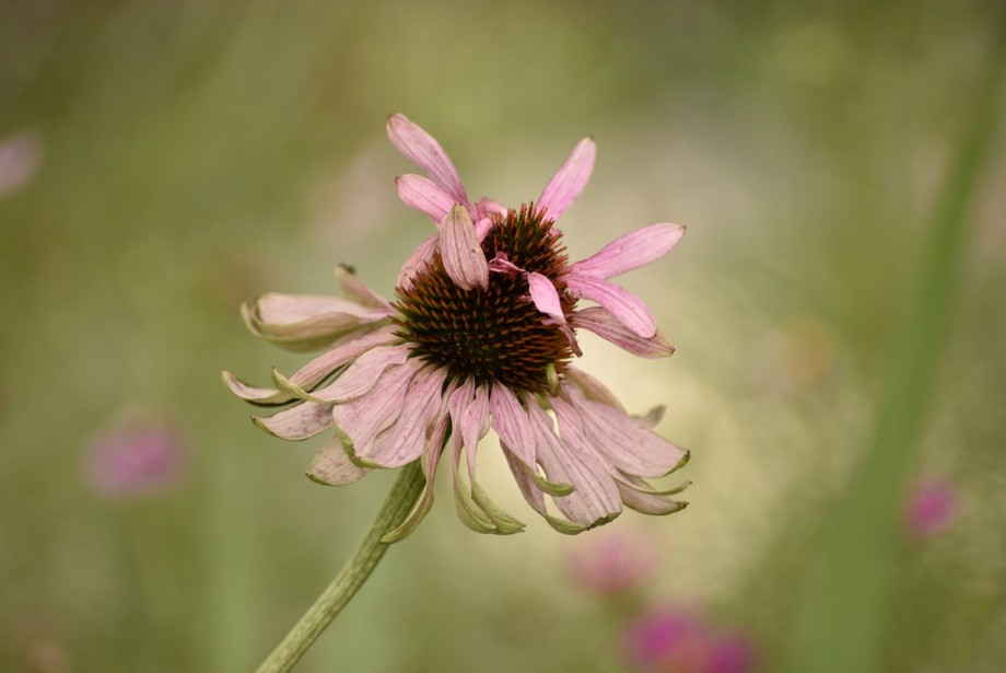old double coneflower