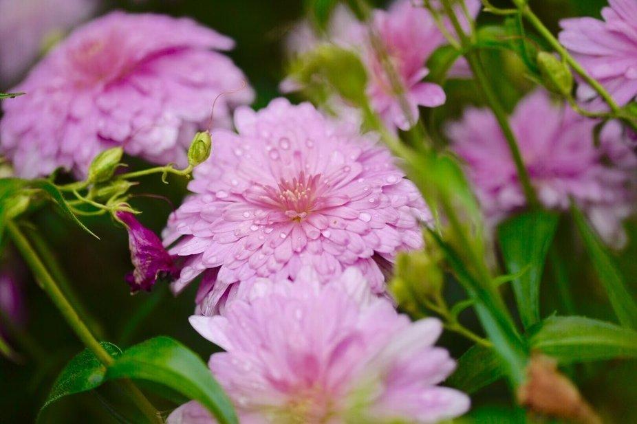 dew drop flowers
