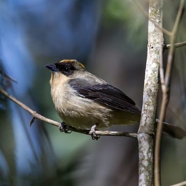 Black-Goggled Tanager-8422