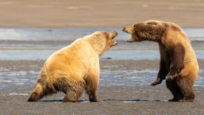 Just a Small Disagreement by kerikson211 - Alaska The Wild Photo Contest