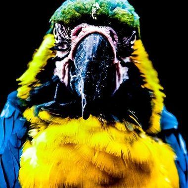 Menacing Macaw