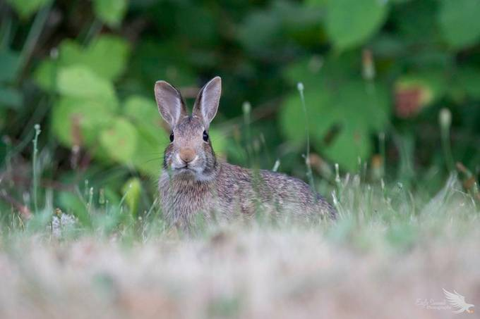 Cottontail ^_^ by Eagle_Summit - Small Wildlife Photo Contest