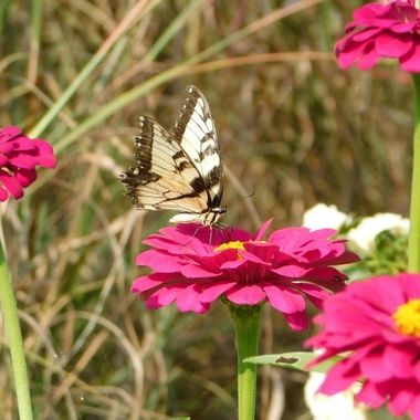 Eastern Tiger Swallowtail on a Zinnia