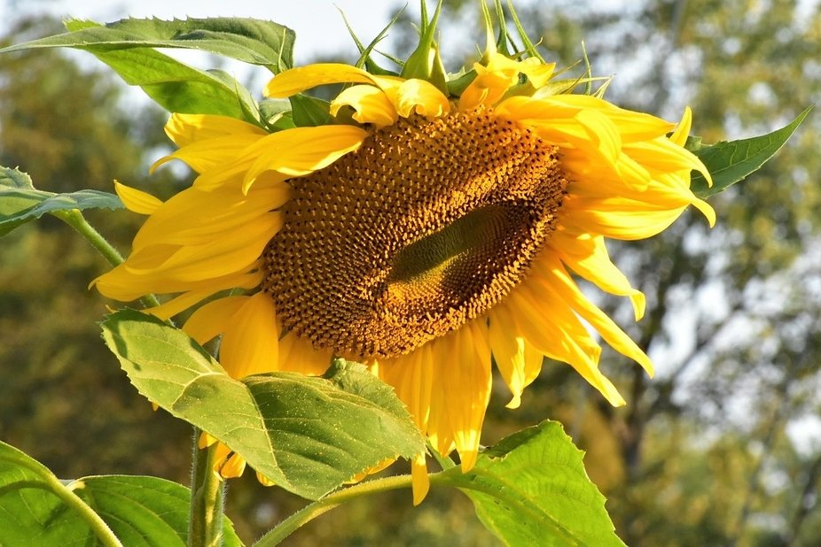 Sunflowers in the summer make you smile.