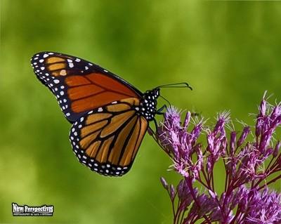 Monarch Butterfly-24