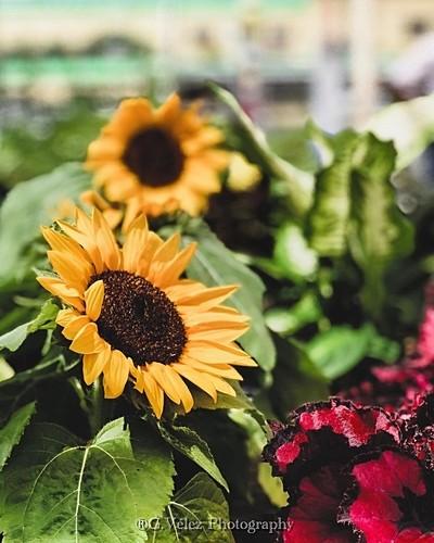 Silent sunflower