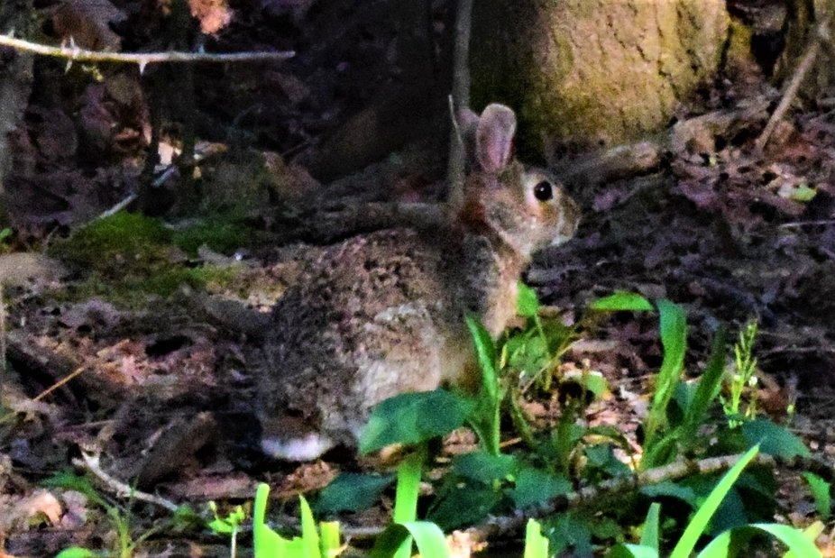 This rabbit lives in my driveway, and I talk to it sometimes.  It seems to listen, but not for very long.
