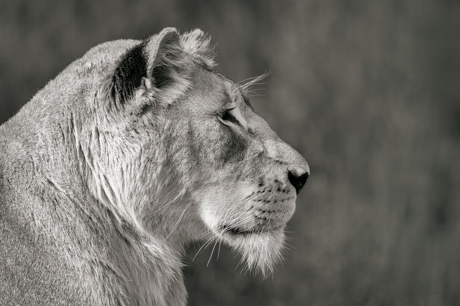 Regarded as divine by locals, white lions first came to public attention in the 1970s.  Tenikwa i...