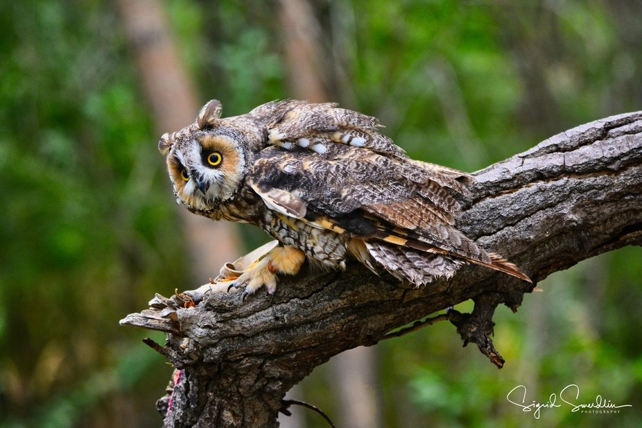 Spooked by a plane flying over, this long eared owl was in full alert position. Looking at the ta...