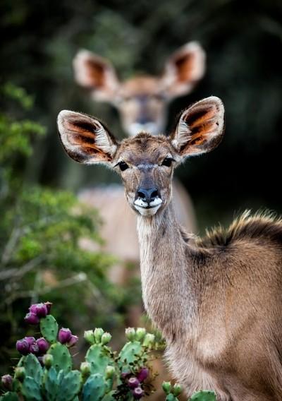 Kudu Photobomb