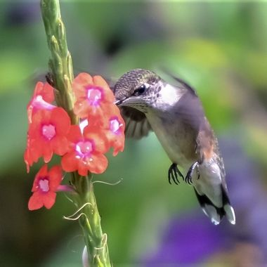 A hummingbird I affectionately nicknamed Patches last year is back entertaining us again with his aerobatics.