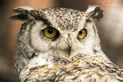 An owlsome Great Horned Owl