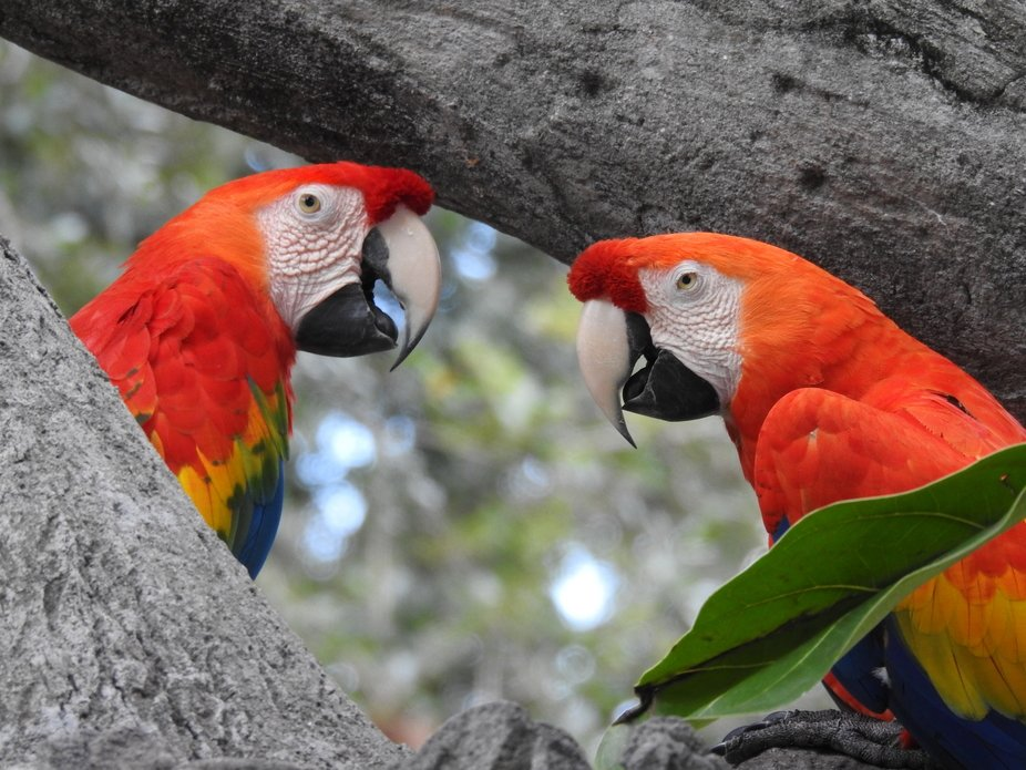 Macaw Parrots at Busch Gardens, Tampa, Florida