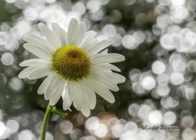 Daisy surounded by bokeh