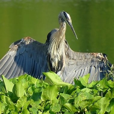 Great Blue Heron Rising