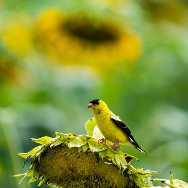 Male Goldfinch, Tuscarora, MD, 08/2018, DSC_2441