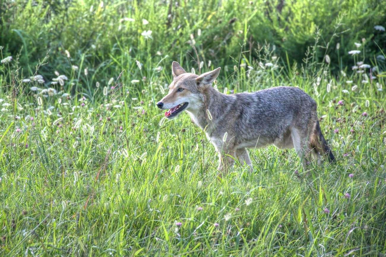 Mountain Coyote