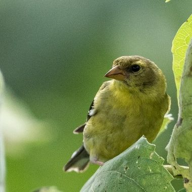 Female Goldfinch, Tuscarora, MD, 08/2018, DSC_2440