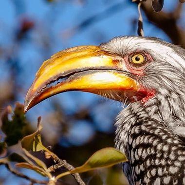 Used Hornbill.