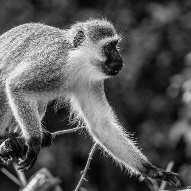 Blackface Monkey Reaching