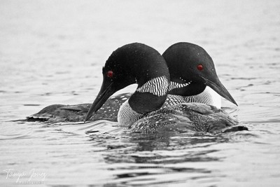 Loon times two