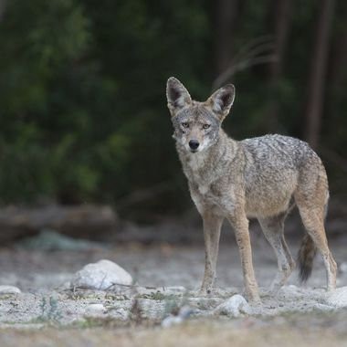 Coyote IMG_7698