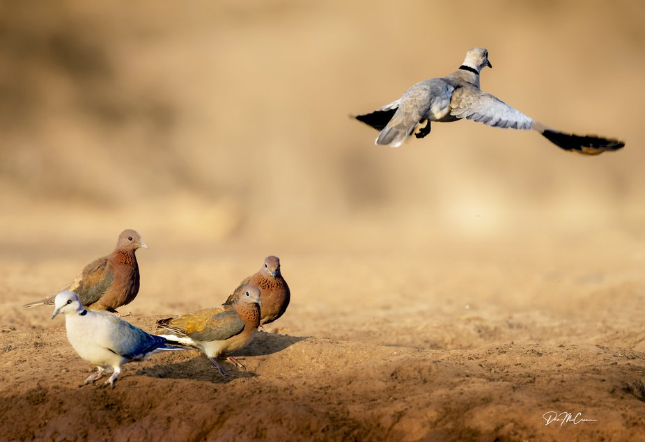 Cape Turtle Doves and Laughing Doves (?) in Waterhole, Botswana