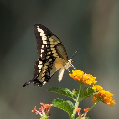 Giant Swallowtail Butterfly-8389