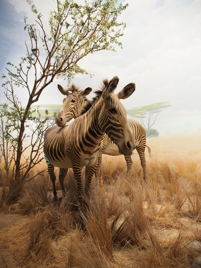 Zebras  (Taxidermy) by dgerrans - Social Exposure Photo Contest Vol 17
