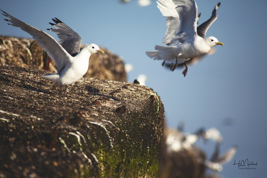 Seagulls in a fly. Birds in movement it's an amazing moment of nature.
