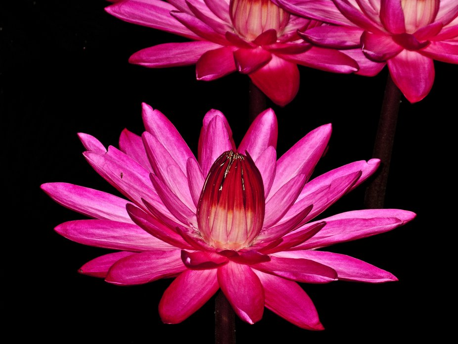 Hybrid water lily flower - Longwood Gardens