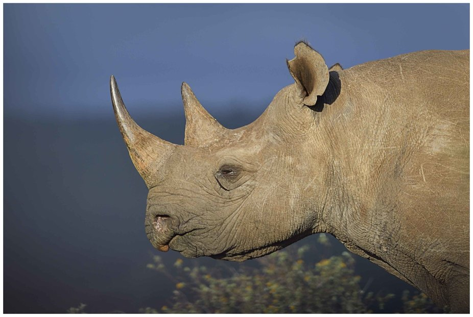 One of the three thousand black rhino remaining alive in the wild, photo captured on the Eastern ...