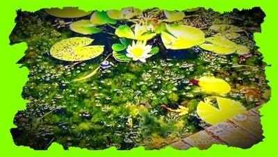Lelies in het stadspark Tienen | Lilies in the city park Tienen