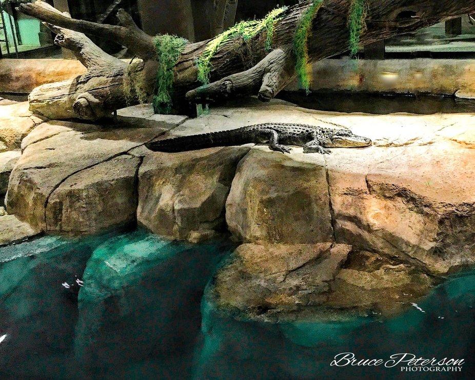 Alligator in Repose