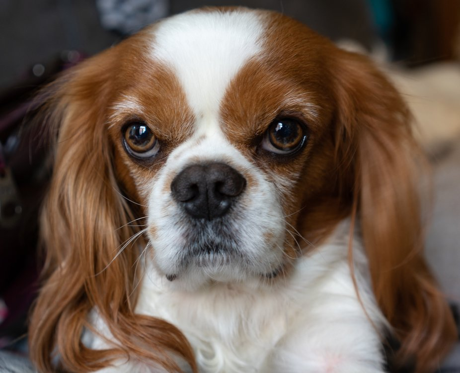 Marley, my dog, my friend... (Cavalier King Charles)
