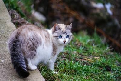 gatito de ojos azules